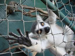 lemur-trap-3
