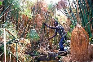 okavango-reeds
