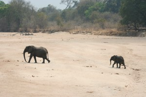 Elephant crossing dry riverbed, Zambia