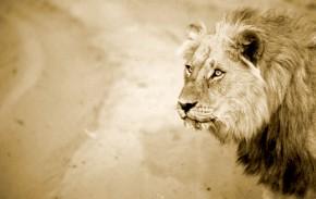 Lion in Linyanti, Botswana